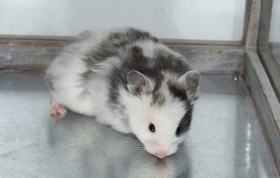 Black Domspot Susse Hamster Haustiere Kaufen Nagetiere