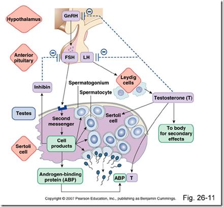 Spermatogenesis x leydig cells under lh control sertoli cells under fsh control ccuart Choice Image