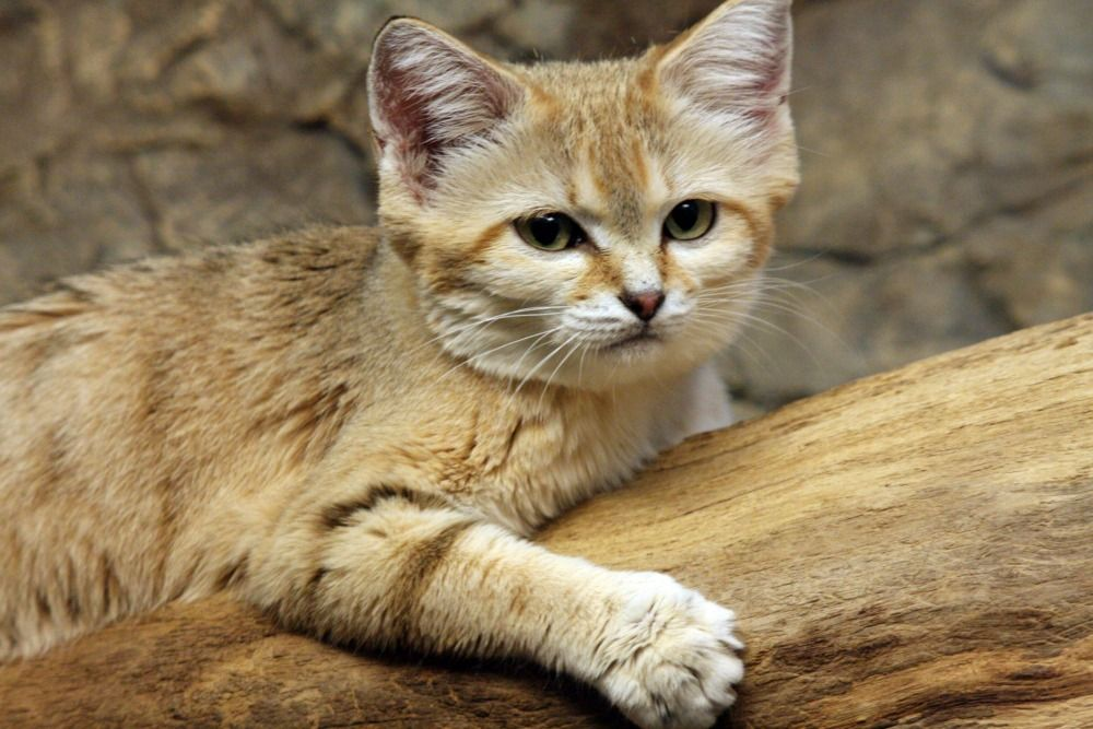 Sand cats are found in both sandy and stony desert, living