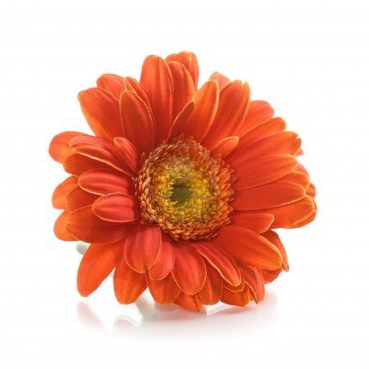 Single Orange Gerbera Daisy Flower On White Background Gerbera Daisy Daisy Flower Flowers