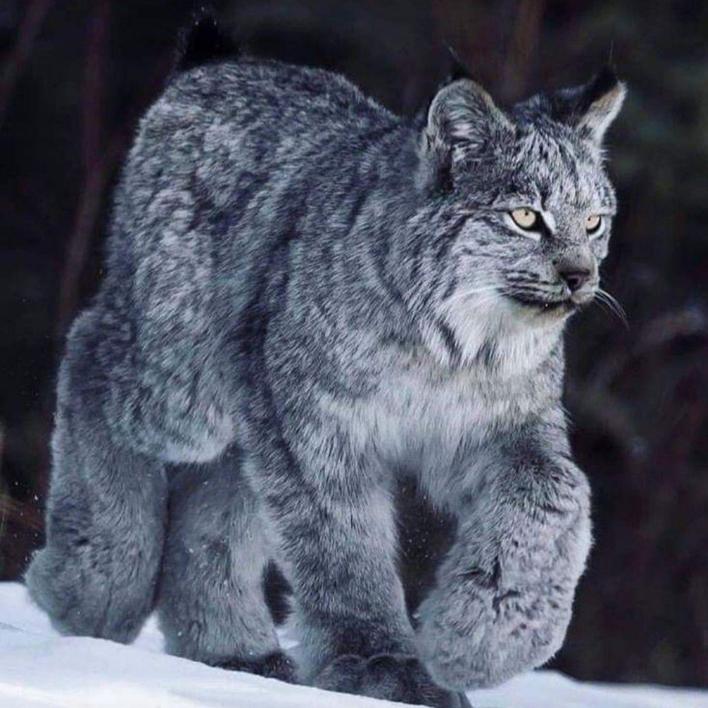 Pin by Debra Buckley on Majestic Canada lynx
