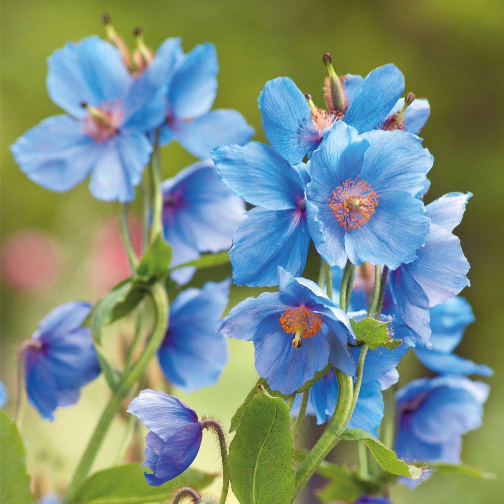 Meconopsis betonicifolia blue perennial biennial plants meconopsis betonicifolia blue perennial biennial plants thompson izmirmasajfo