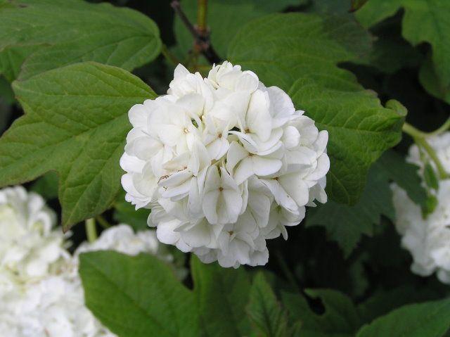 Fiori A Palla Bianchi.Viburnum Opulus Roseum
