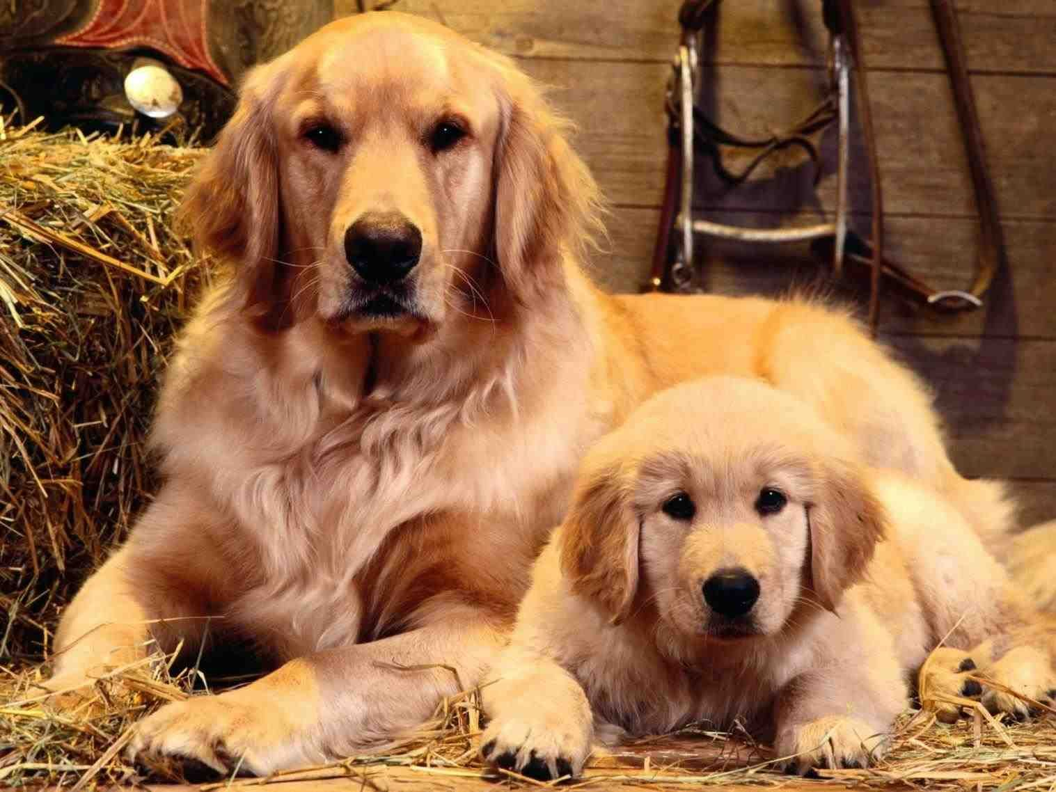 New Post Christmas Golden Retriever Wallpaper Trendingcheminee