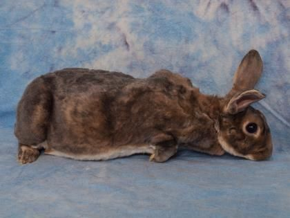 ADOPT!!! Meet Rocky, a Petfinder adoptable Rex Rabbit Dayton, OH Rocky is a handsome little guy, both inside and out! A 2 year old, neutered Rex, he has super soft...