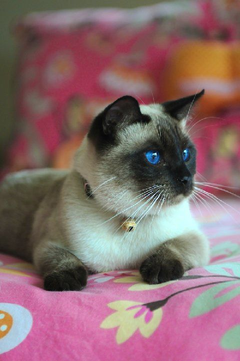 Traditional Applehead Siamese Cats And Kittens Cats And Kittens Gorgeous Cats Kittens