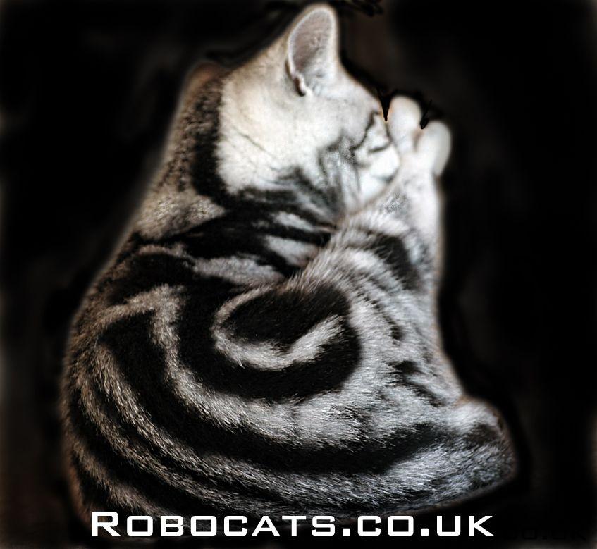 Silver Tabby British Shorthair Kitten British Shorthair Kittens