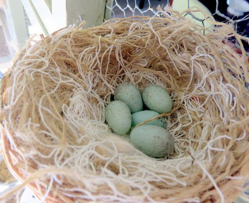 Here Are Five Speckled Red Factor Canary Eggs Waiting To Hatch As