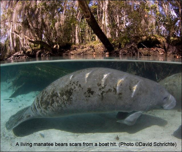 Service Ignores Ongoing Threats and Proposes to Downlist Manatees: The U.S. Fish and Wildlife Service has proposed to change the status of the manatees from endangered to threatened. But we do not believe it is appropriate to reclassify manatees at this time when current and future threats to the species and its habitat are anything but controlled. See why Save the Manatee Club is opposed: http://goo.gl/zMEKlB. Sign up to get our action alerts: http://www.savethemanatee.org/signup