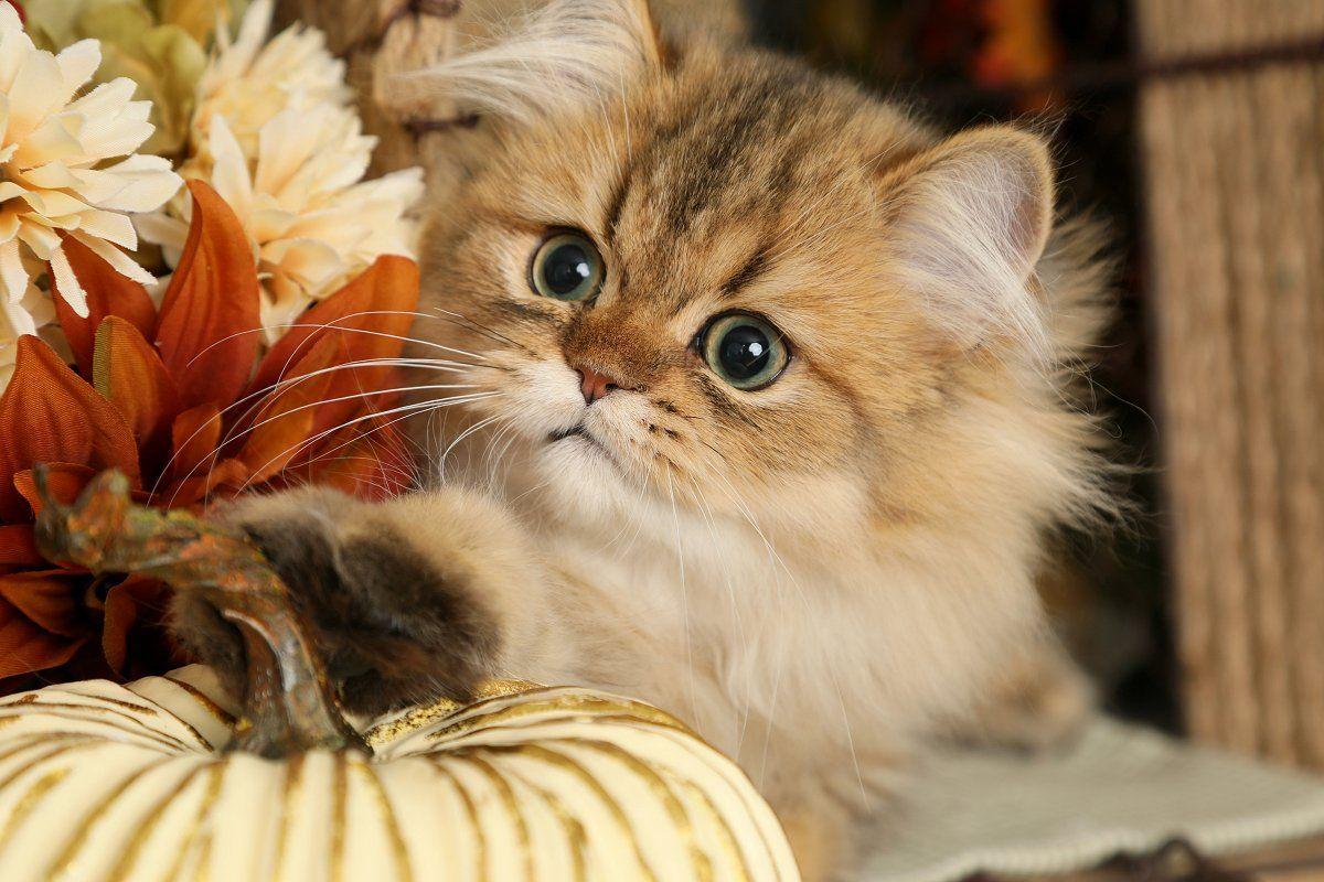 Golden Chinchilla Persian Kitten For Sale Chipmunk Persian Kittens Persian Kittens For Sale Kitten For Sale