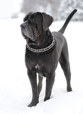Mastino Napoletano Hunde Hunde Rassen Haustiere