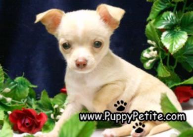 Cavapoo A0808 8female L85 Cavapoo Puppies Dog Breeder Puppies
