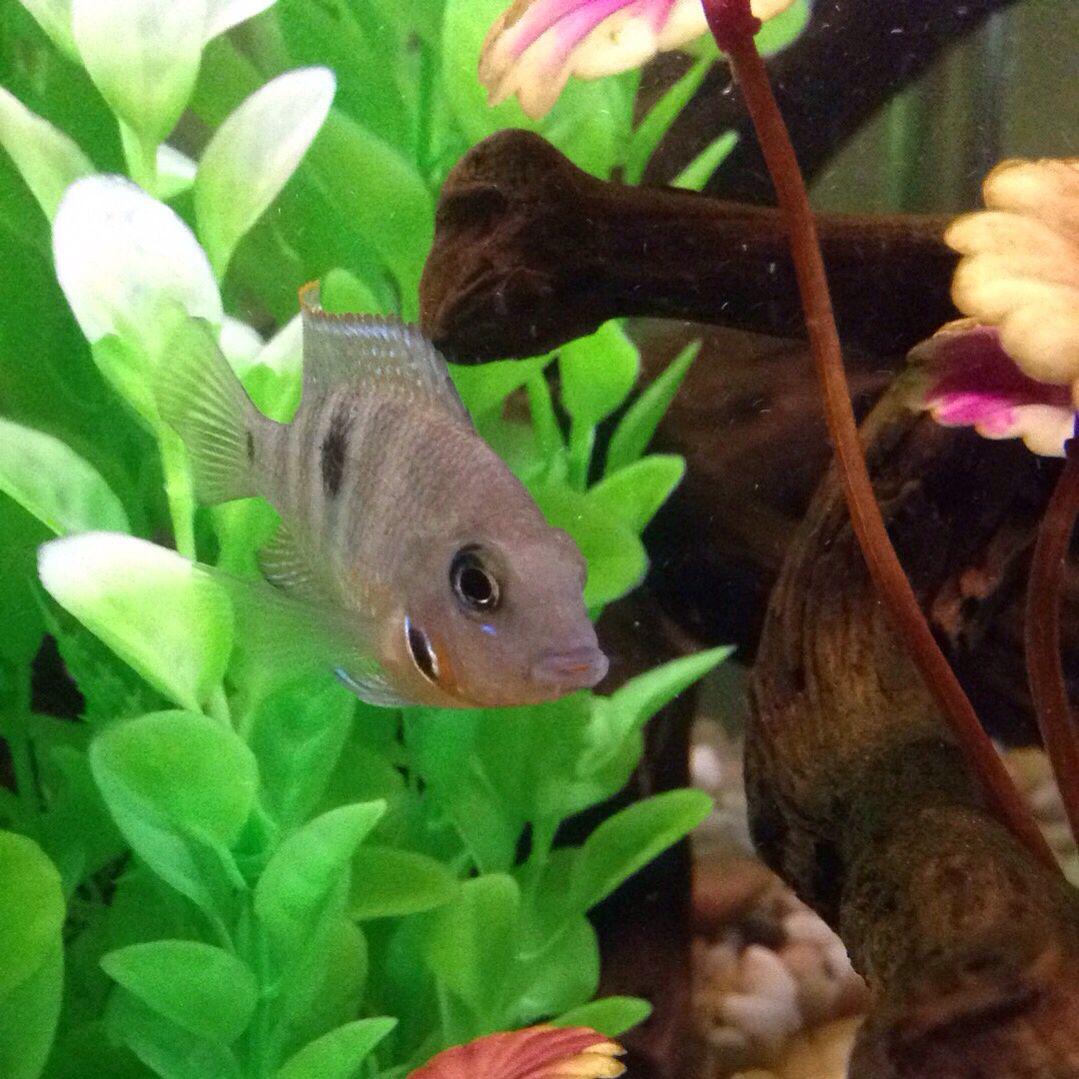 Freshwater juvenile fish - Juvenile Firemouth Cichlid