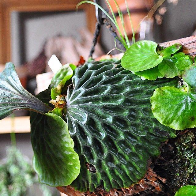 Instagram post by caramelman999 green staghorn for Vivero plantas exoticas