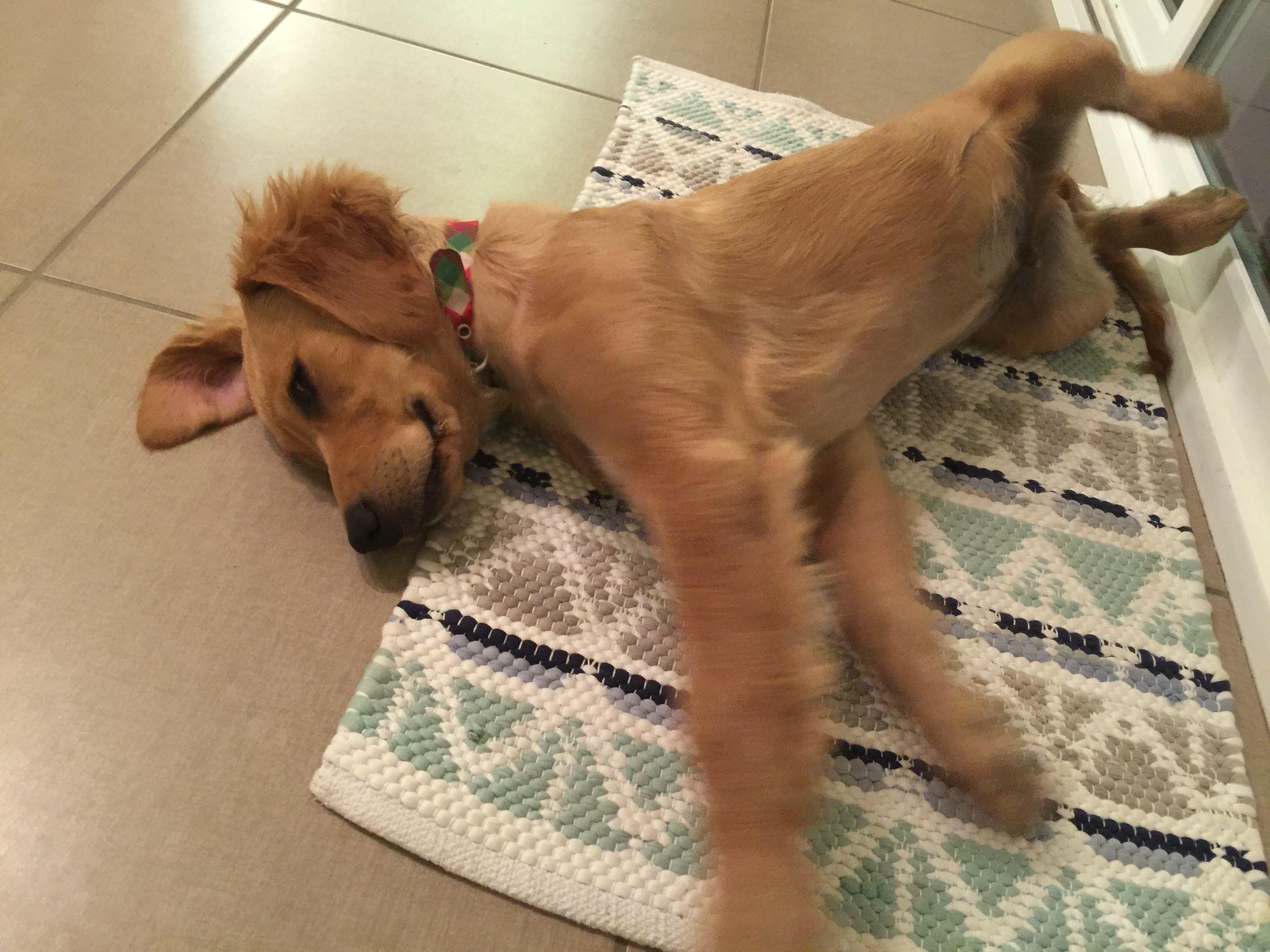 16 Weeks Old Golden Retriever 16 Weeks Puppies