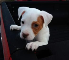 Adopt Victor On Pitbull Terrier Bully Dog Teddy Bear Dog