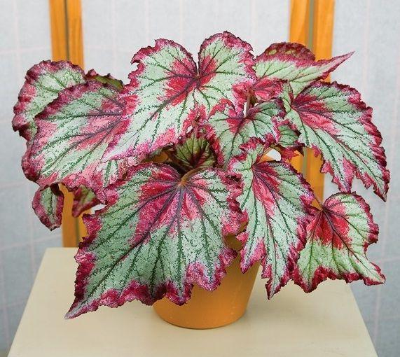 8 Jenis Tanaman Hias Begonia Yang Perlu Anda Ketahui Http Bibitbunga Com Blog 8 Jenis Tanaman Hias Begonia Yang Tanaman Tanaman Hias Dalam Pot Bunga Langka