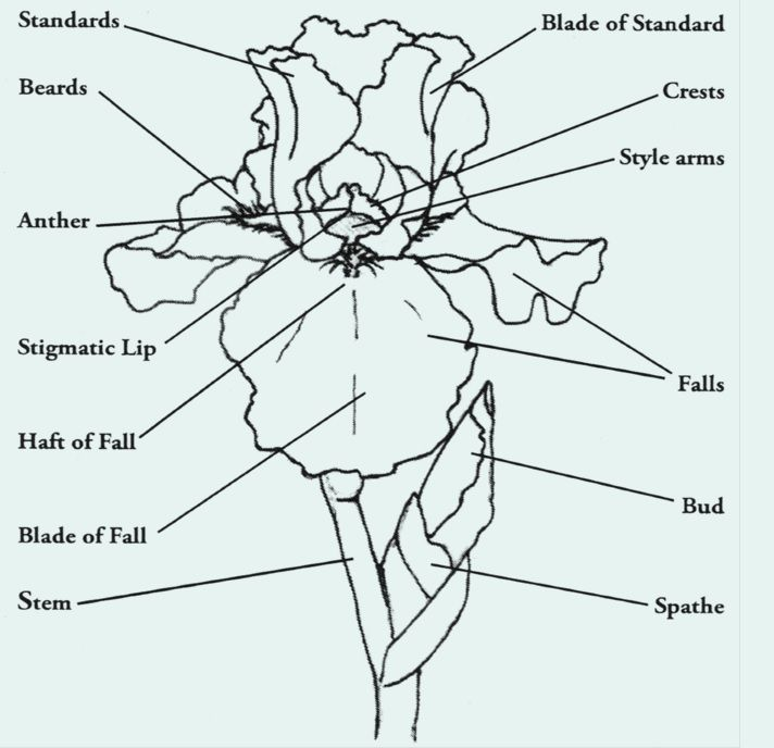 Illustration Of An Iris Flower With Highlighted Parts Of The Flower Iris Drawing Iris Flowers Iris