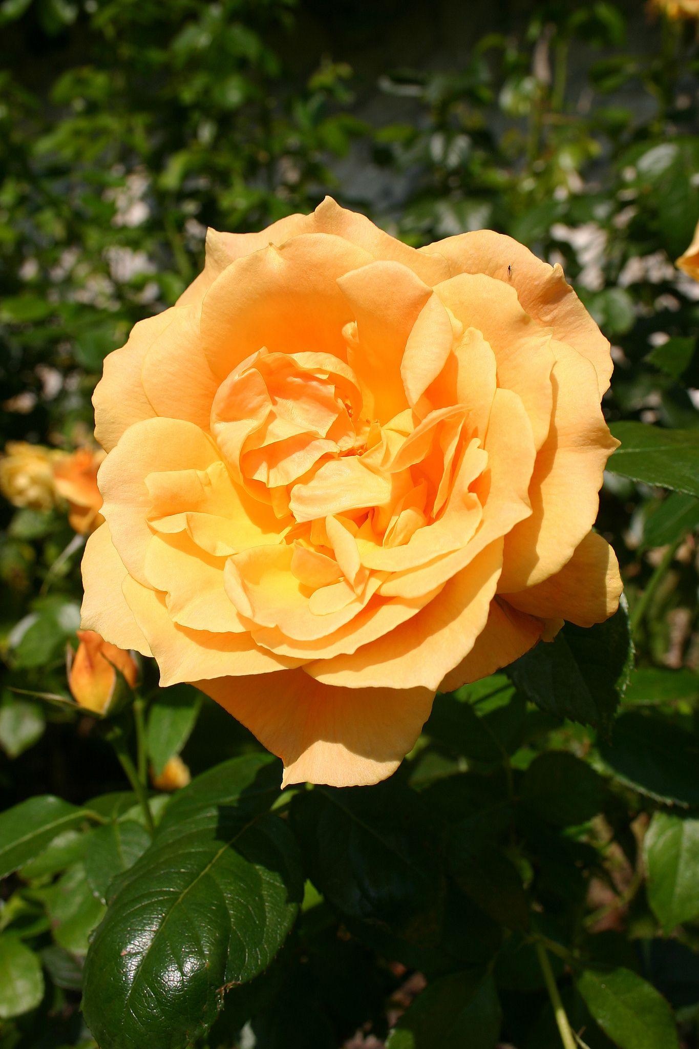 Easy Going Rose Rose Types Of Roses Orange Roses