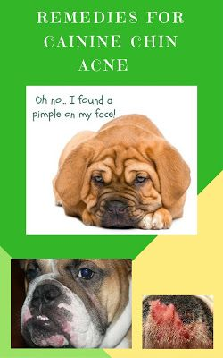 Dogs With Chin Pimples Canine Acne Solutions Bulldog Chin Acne
