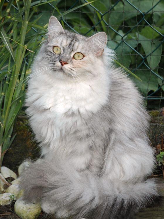 Pin Von Maribel Mendoza Blanco Auf Gatos Deutsch Langhaar Katze Katzen Langhaarige Katzen