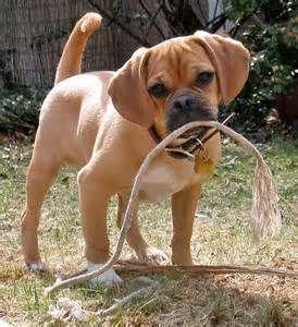 Full Grown Mini Beagle Bing Images Unusual Animals Dog