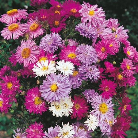 I think Bob needs to add these to the garden this year :) michaelmas daisies