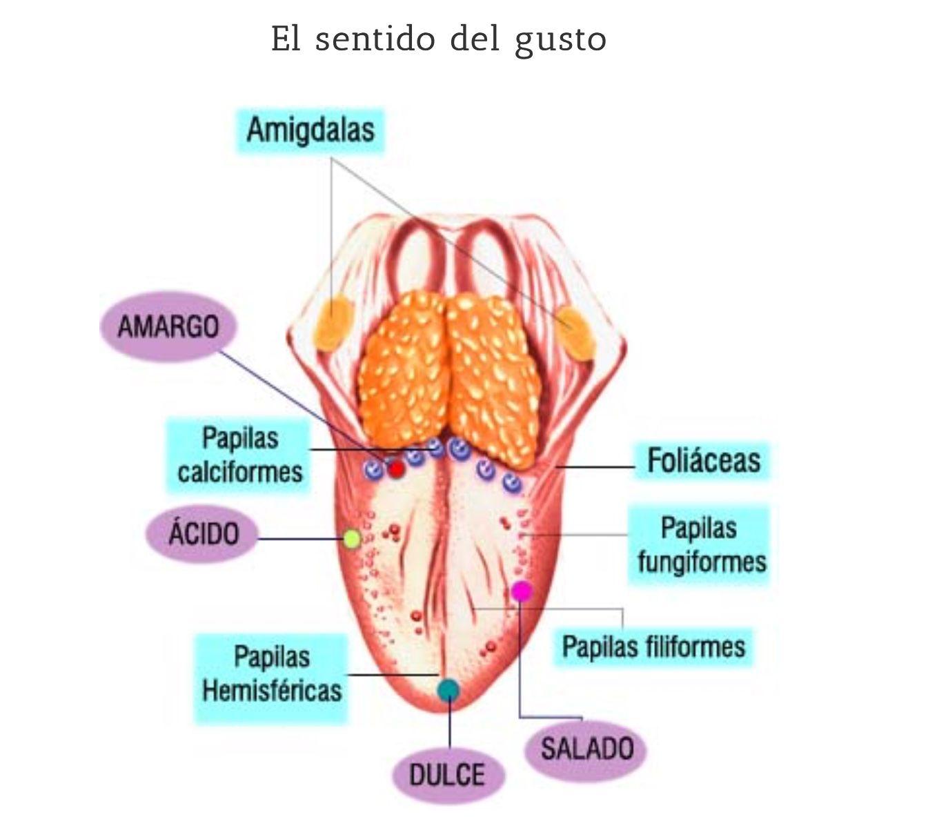 Vistoso Papilas Fungiformes Ornamento - Imágenes de Anatomía Humana ...