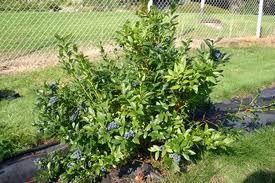 pensasmustikka tekee mahtavan terveellisiä marjoja aurinkoisella paikalla.