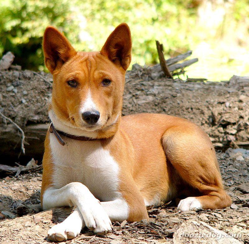 Basenji Dogs Dog