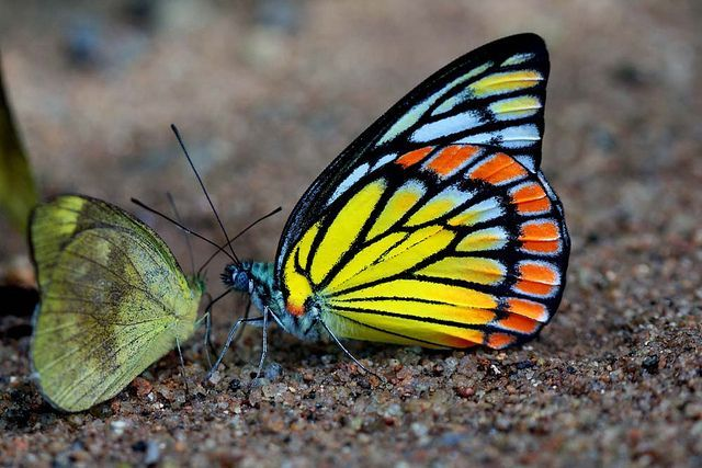 Delias aganippe) | Painted saw tooth/prioneris sita butterfly