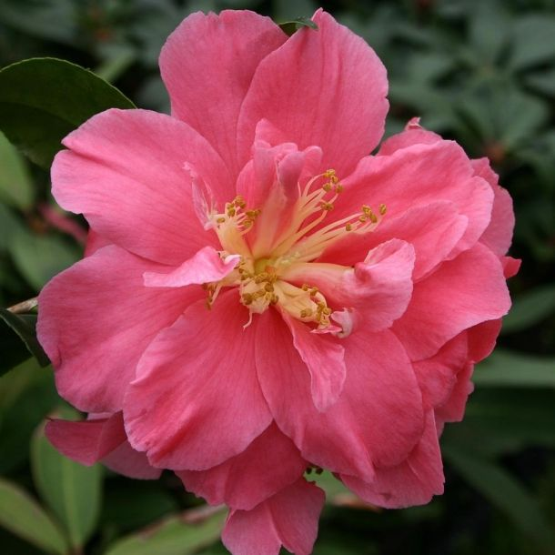 Camelia Teresa Ragland It's easy to find what you're looking for with our Plant A-Z, covering everything from Cornish plants to sub-tropical specimens that love mild climates.