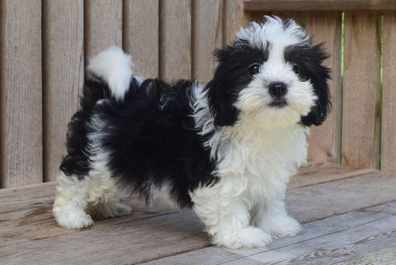 Gus havanese puppies for sale havanese puppies puppies