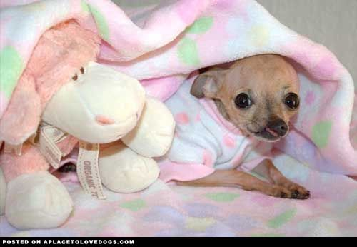 Baby Emma Cleft Palate Chihuahua Cute Chihuahua Cute Puppies