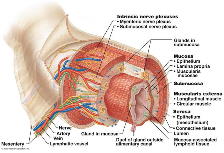 Four layers of alimentary canal digestive system pinterest the digestive system great anatomical diagram of the alimentary canal ccuart Images