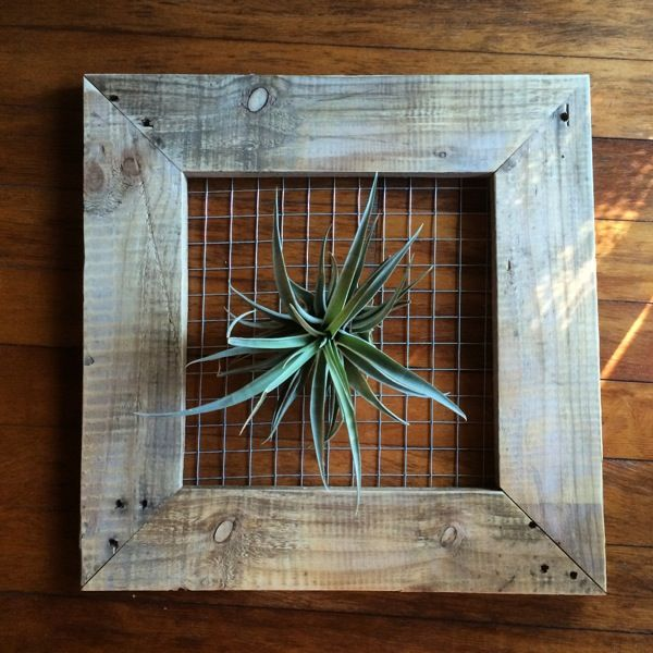 Recycled Pallet Wood Frame with a T.Brachycaulous x ...