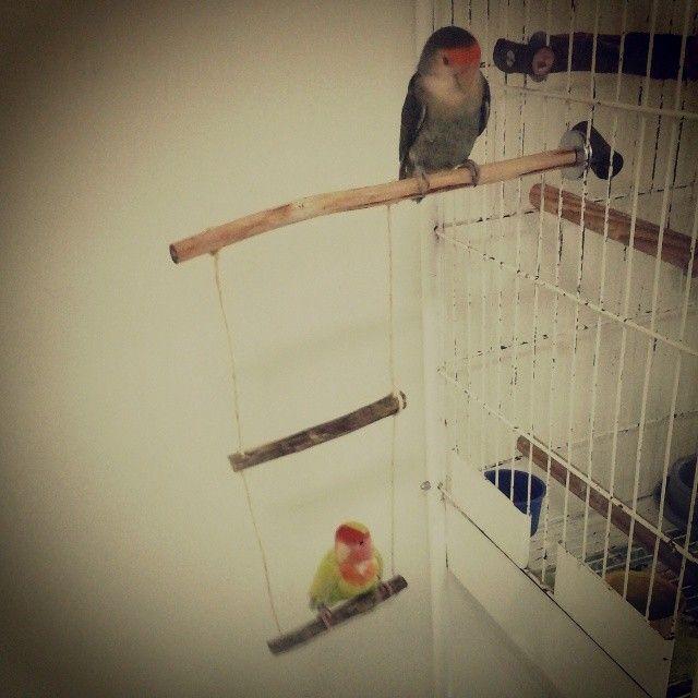 As agapornis curtindo o seu novo poleiro com balanço da #guarubatoys #agapornis #instapets #instabirds #birds #parakeet #animale #bird_watchers_daily #animal #birdwatching #loveit #nature_seekers #igbirdfreaks #bird_lovers_daily #instabird #tagsta_nature #feather #birdsofinstagram #sky #bestbird #birdstagram #wings #tagsta #naturelover #natureonly #natureporn #instagallery #agapornis #passarodoamor #lovebirds