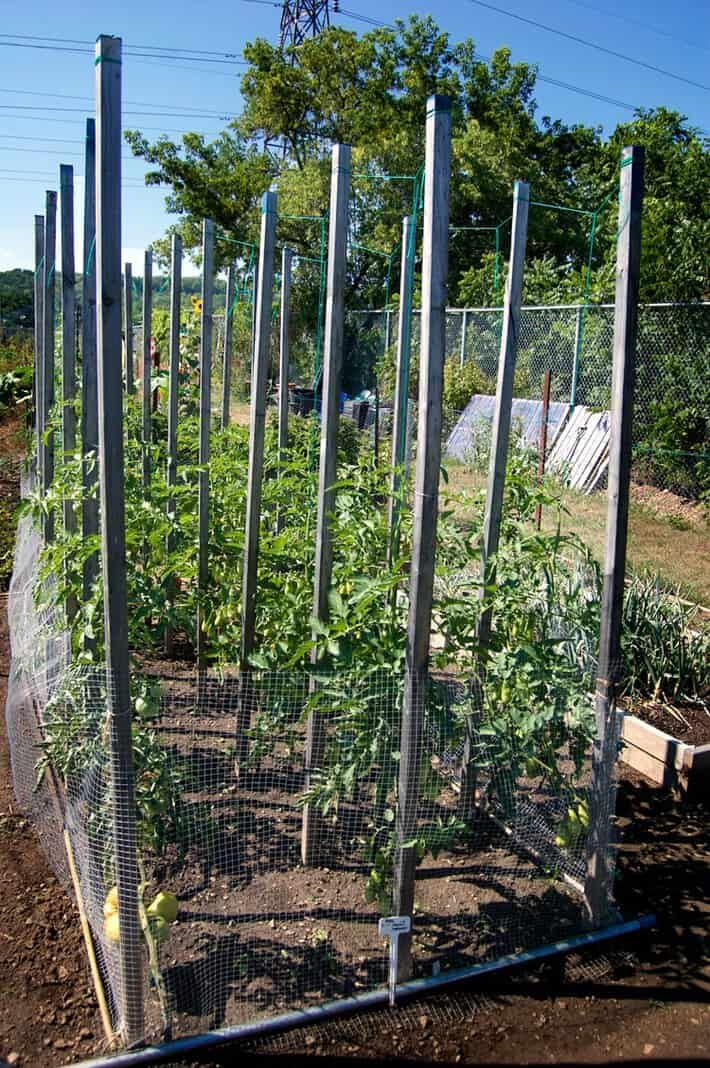 The tidiest easiest BEST way to grow tomato plants is the string method Hands down no contest
