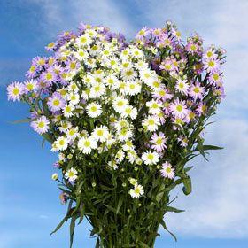 Best Assorted Aster Flowers Aster Flower Wholesale Flowers All Flowers