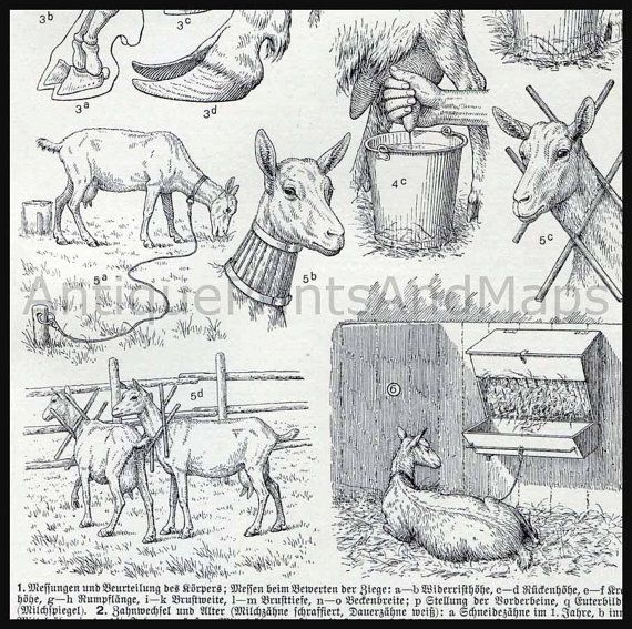 Dairy Goat Anatomy To Milking Farm Animals Domestic Goat From A