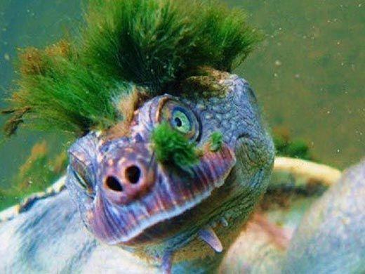 Mary river turtle algae - photo#47