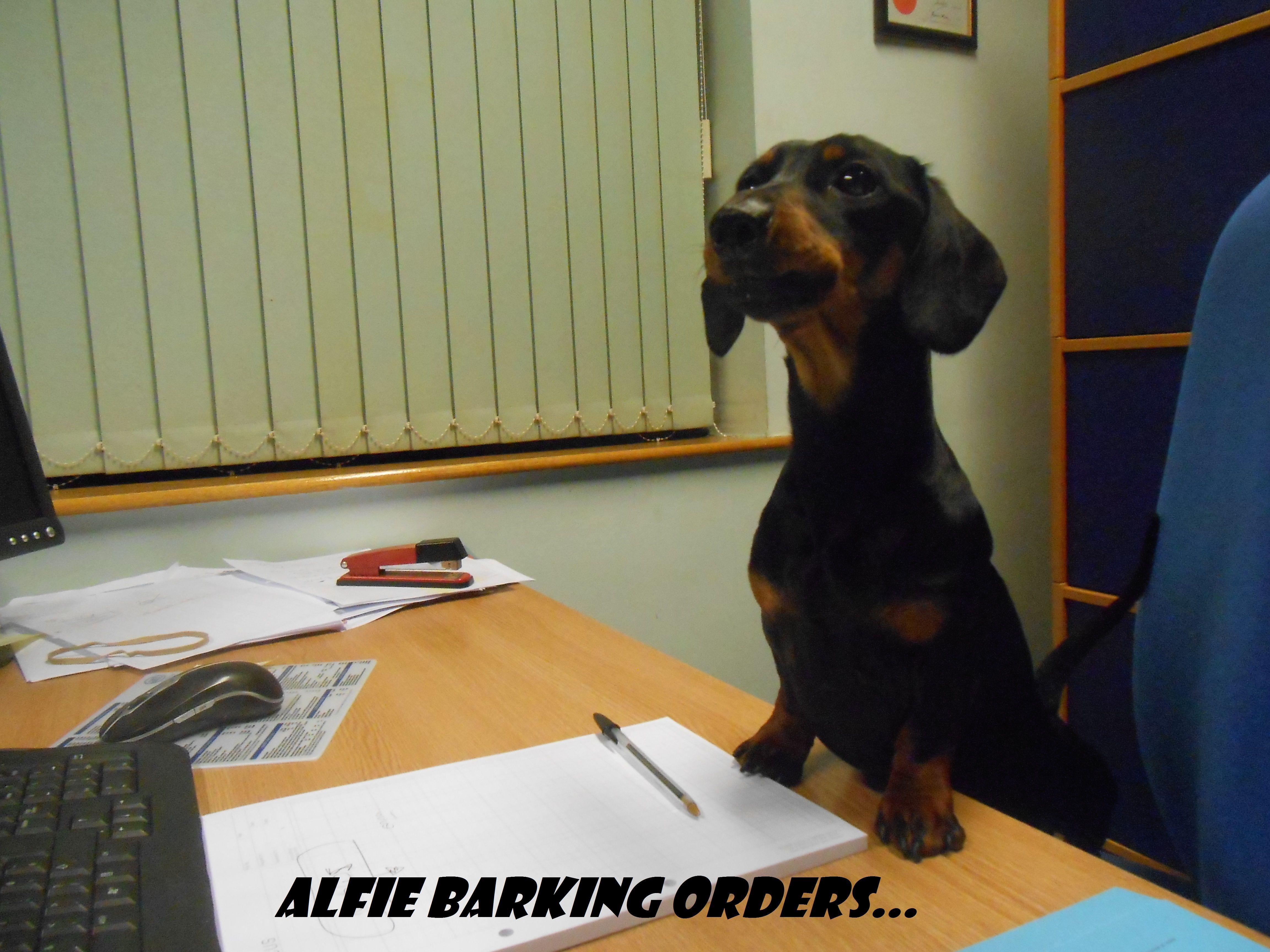 TAKE YOUR DOG TO WORK DAY! #dachshund