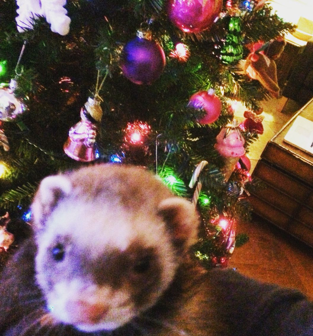 Christmas Ferret.Christmas Ferret With Twinkly Lights Ferret Ferret