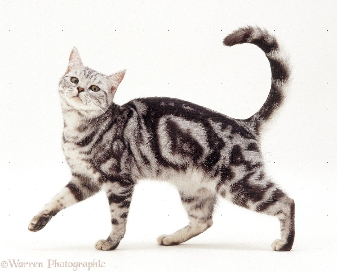 A Tabby Also Known As Grey Tiger Is Any Domestic Cat That Has A