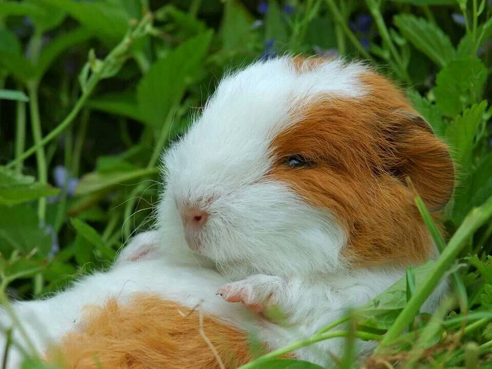 Awwww! This little piggy looks pretty comfy, but adult guinea pigs have to have a laid back temperament to tolerate you laying them on their backs.