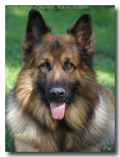 Site For Old World Old Fashioned Old Style German Shepherd