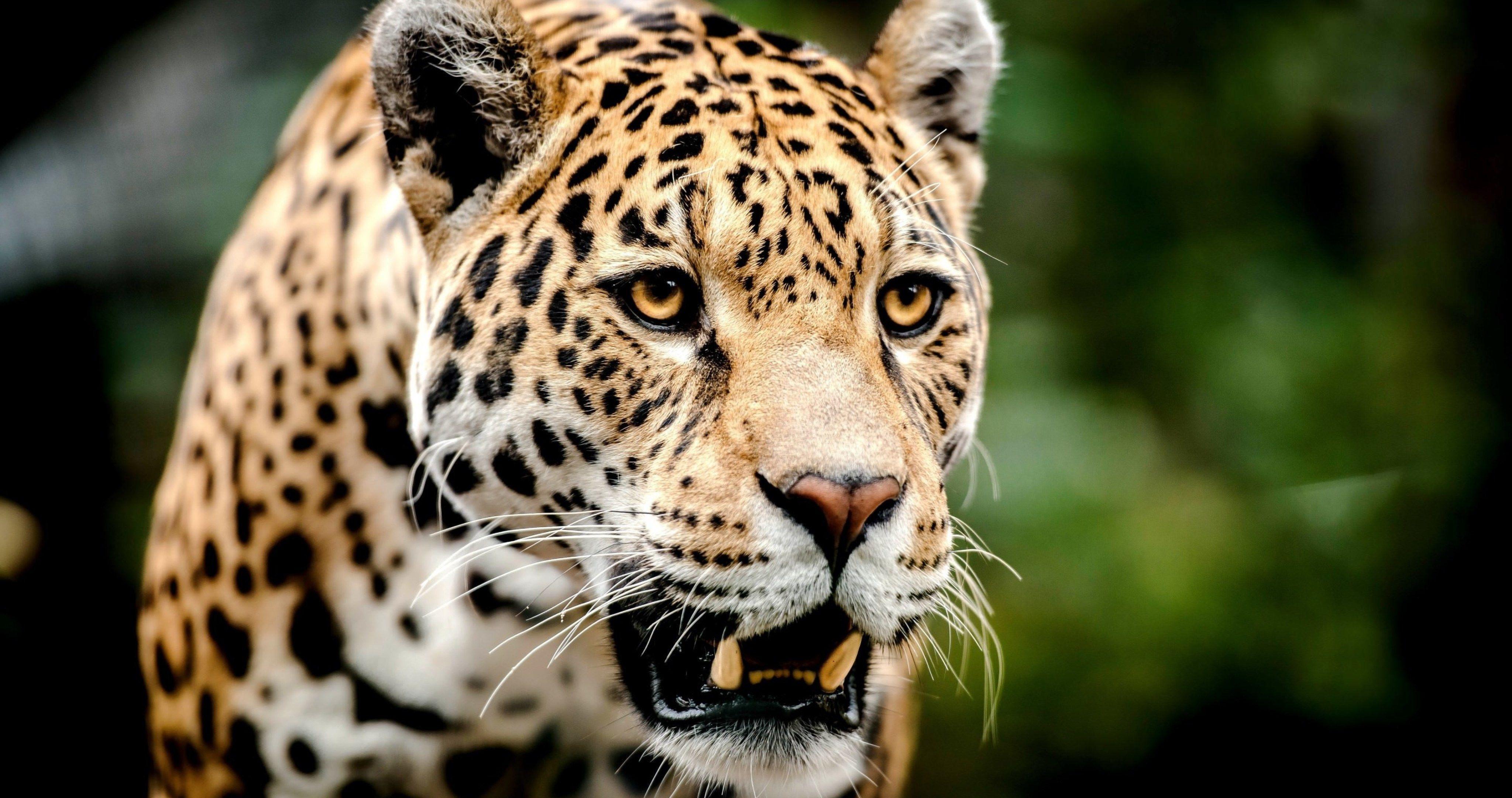 big cat face 4k ultra hd wallpaper Jaguar animal