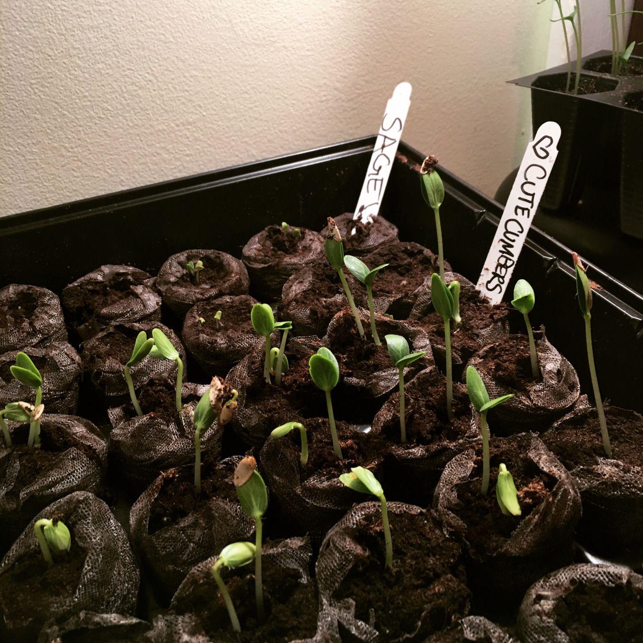 Cucumber seedlings, day 6! | Vegetable Gardening | Pinterest ...