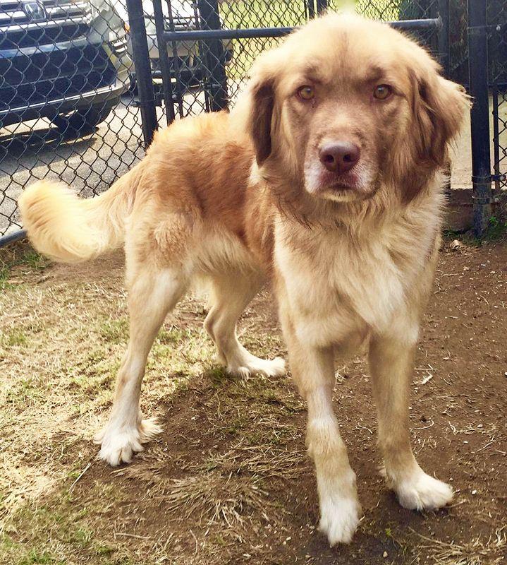 Adopt Topper on Petfinder Dogs golden retriever, Golden
