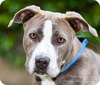 American Staffordshire Terrier Dog For Adoption In Westminster California Rawhide American Staffordshire Terrier